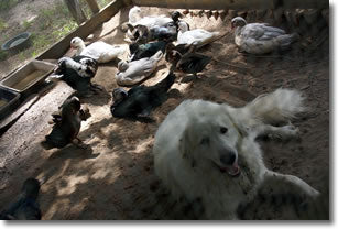 Spenser, one of our Livestock Guardian Dogs, bonding with a group of rescued Mallards and Muscovy Ducks: