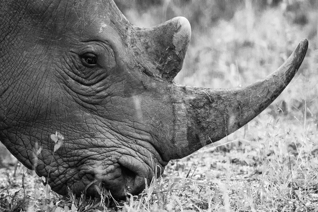 Preserving the white rhino