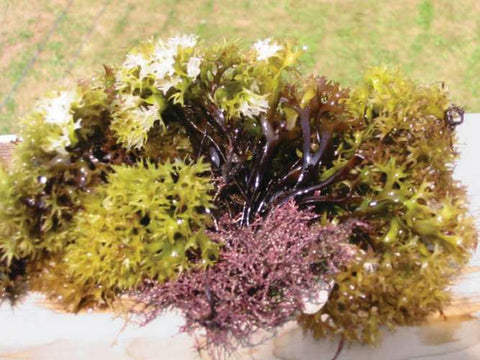 Irish Moss comes in an array of colors Debbie MacKenzie/www.fisherycrisis.com