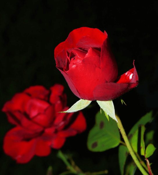 beautiful red roses with a black out background