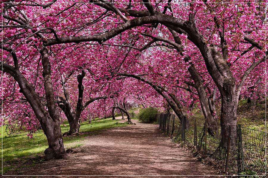 """Under the Cherry Bloom"" by Christopher Petsos Photography"