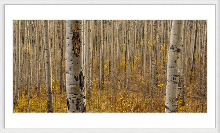 """Fall in the Birch Forest"" by Dorte Verner Photography"