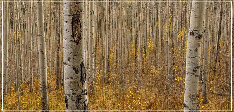 """Fall in the Birch Forest"" by Dorte Verner Photography-Artography Limited"