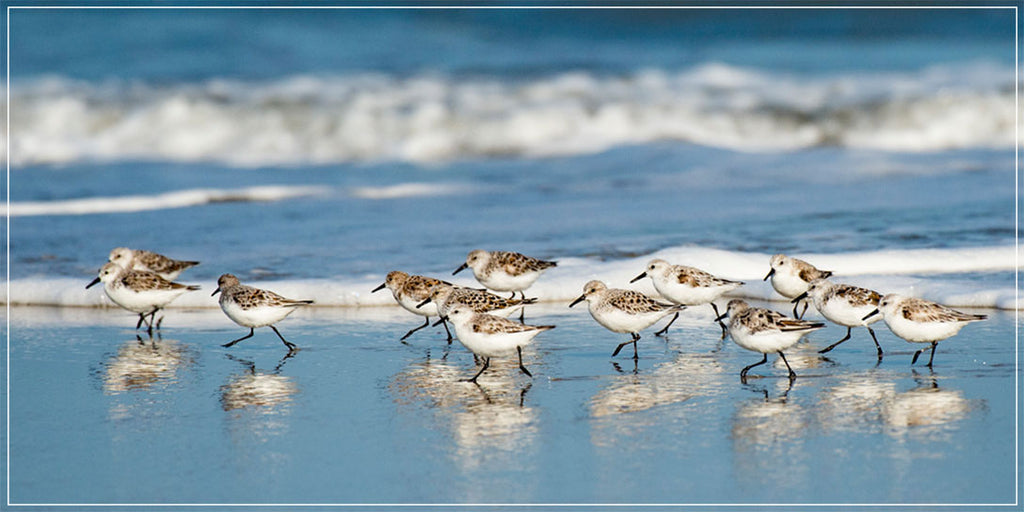 """Sanderling Relay"" by Eve Turek Photography"