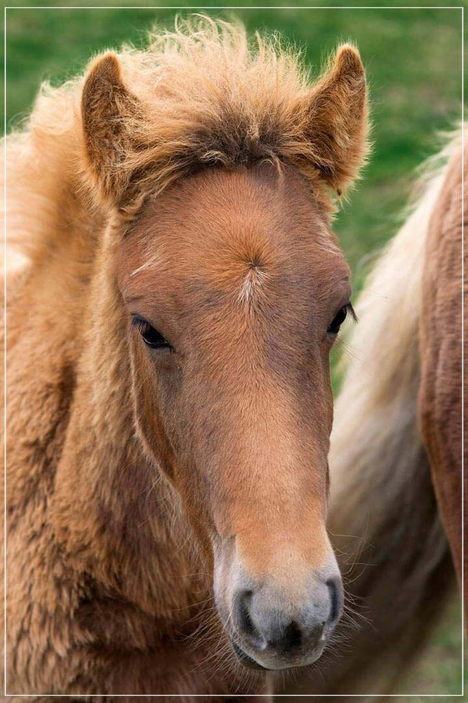 """Icelandic Colt"" by Tom Artin Photography-Artography Limited"