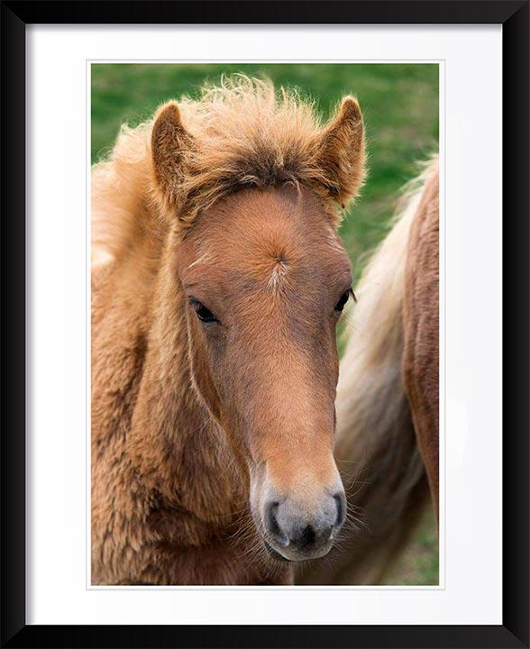"""Icelandic Colt"" by Tom Artin Photography"