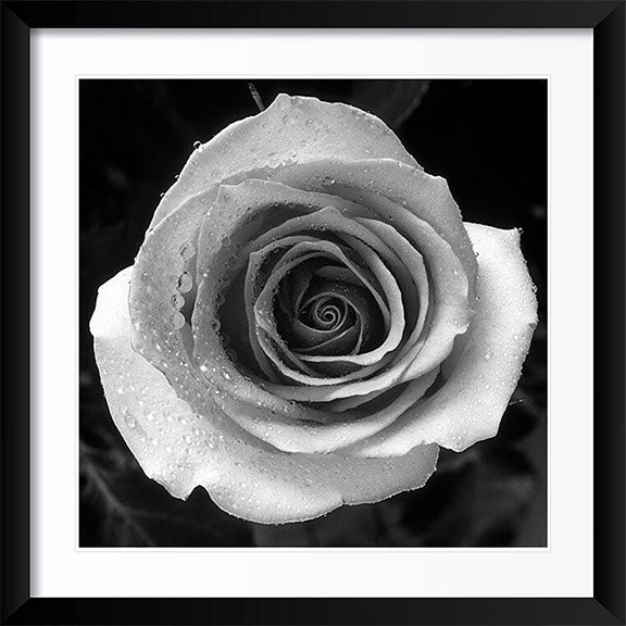 """Rose"" by Tom Artin Photography"