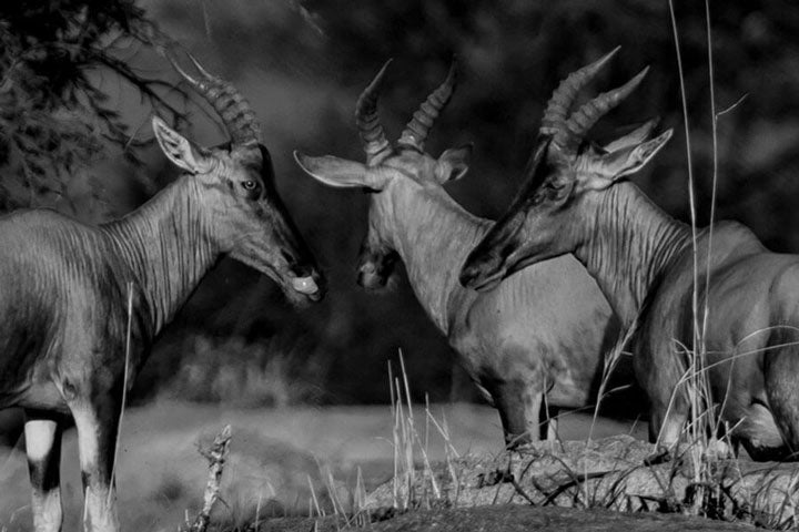 """Antelopes Trio"" by Viet Chu Photography"