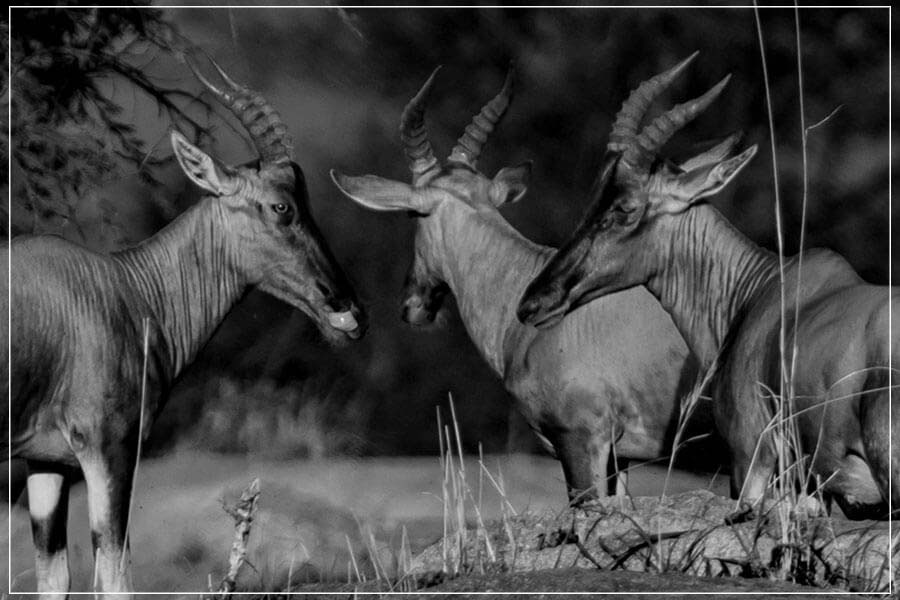 """Antelopes Trio"" by Viet Chu Photography-Artography Limited"