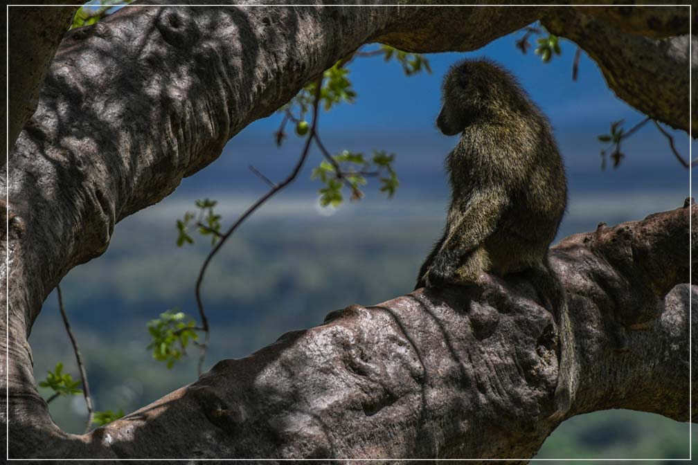 """Baboon Watch"" by Viet Chu Photography-Artography Limited"