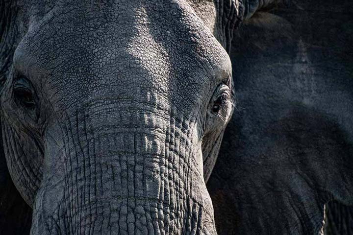 """Elephant Close-up"" by Viet Chu Photography"