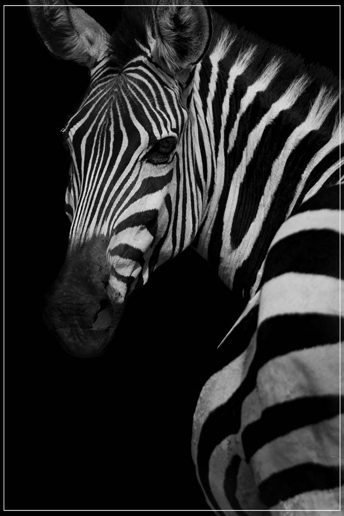 """Profile of a Zebra"" by Viet Chu Photography-Artography Limited"