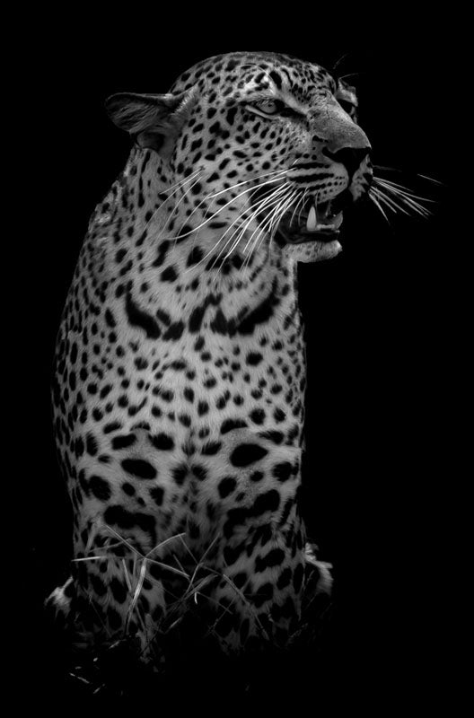 """The Leopard"" by Viet Chu Photography"