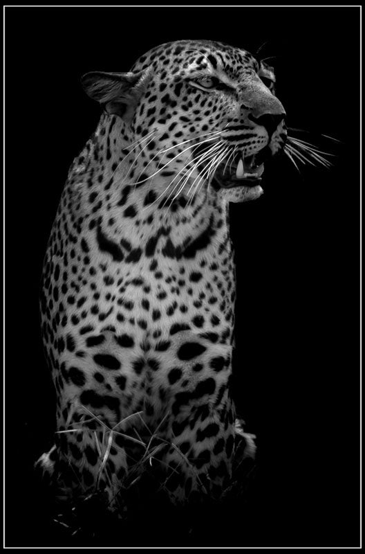 """The Leopard"" by Viet Chu Photography-Artography Limited"