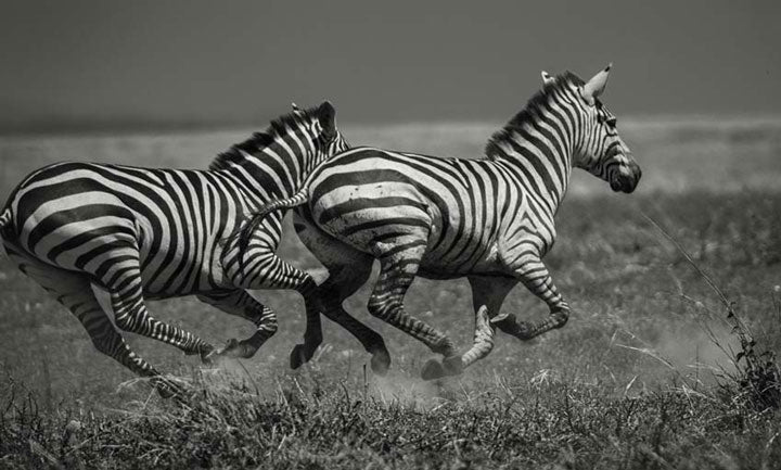 """Galloping Zebras"" by Viet Chu Photography"