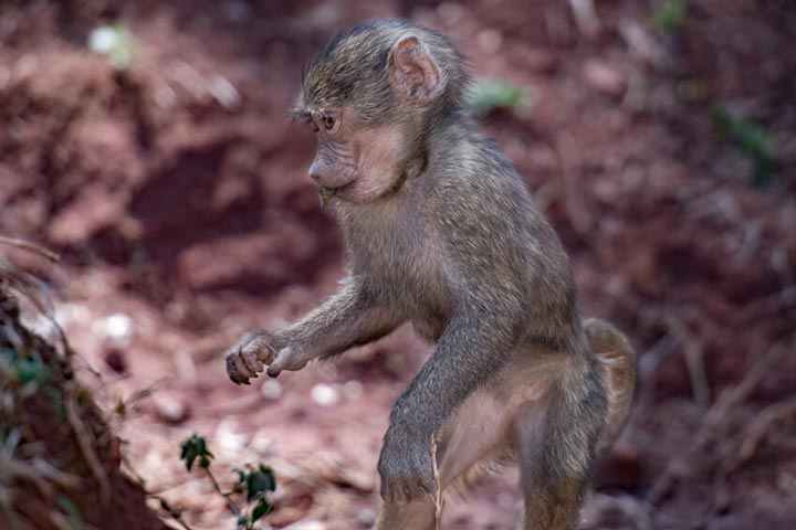 """Baby Baboon"" by Viet Chu Photography"