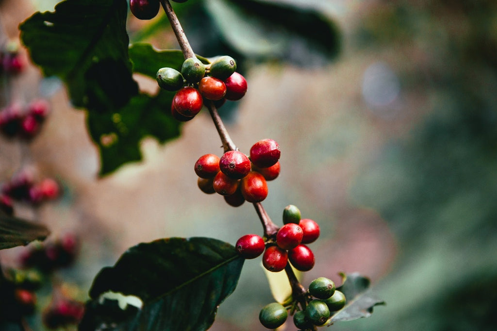 Coffee fruit the way it grows