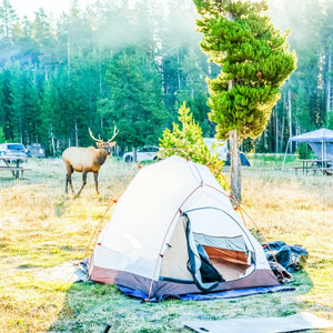 Yellowstone National Park camp ground with a baby elk roaming in between the tents one chilly morning