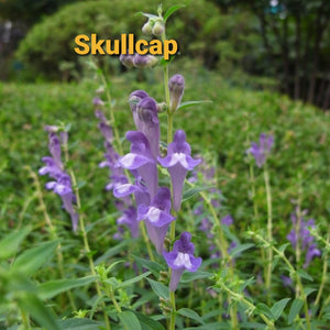 Skullcap,  Dried, C/S,  4oz