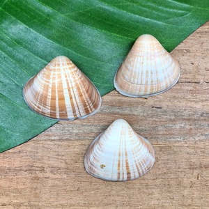 Cockles Shells - 3 Pieces