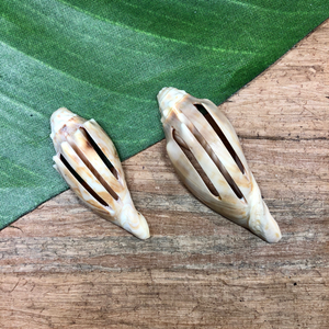 Conch Shell Slices - 3 Pieces