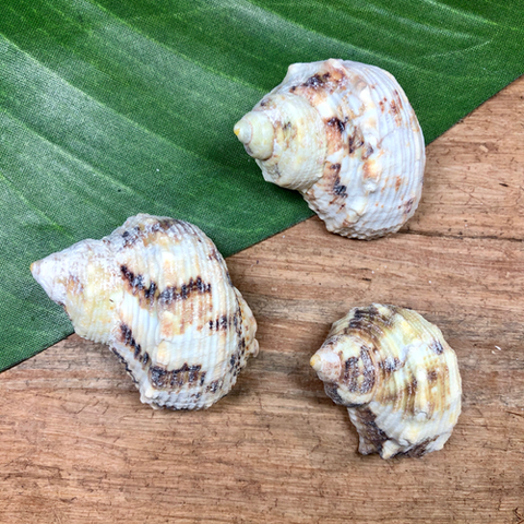 Sea Snails - 3 Pieces