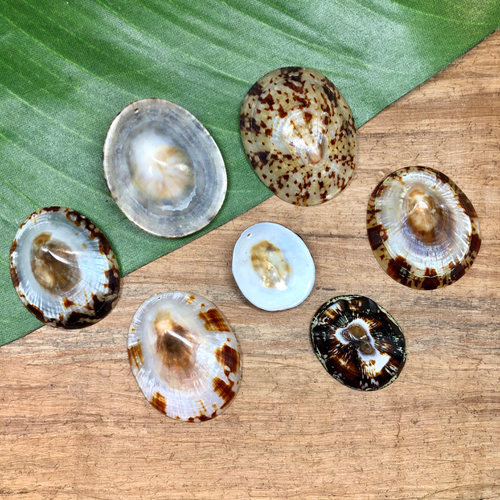 Brown Limpet Shells - 3 Pieces