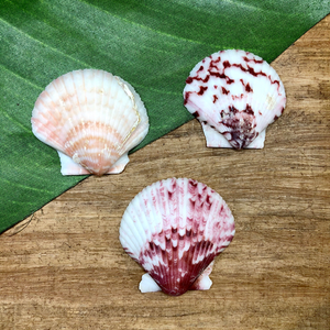 Scallop Shell - 3 Pieces