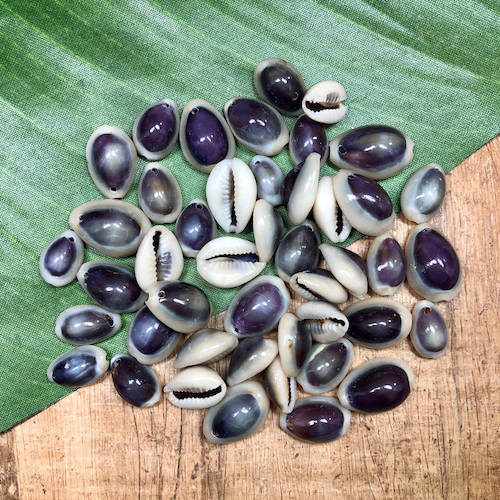Purple Cowrie Shell - 40 Pieces