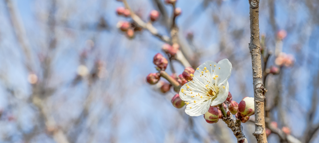 Pink and white apricot tree blossoms before harvest of green maesil apricots