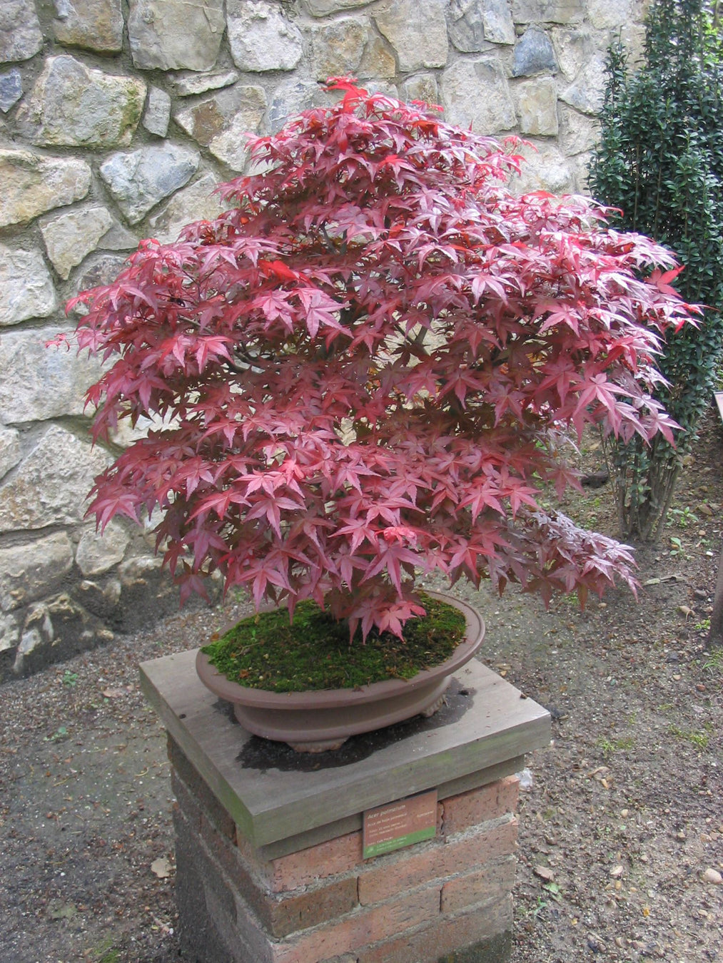 Japanese Maple Bonsai Trees