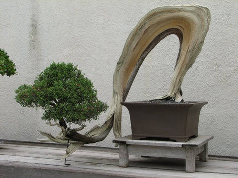 Literati Bonsai Tree