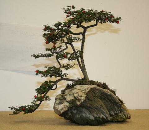 Root Over Rock Bonsai Tree