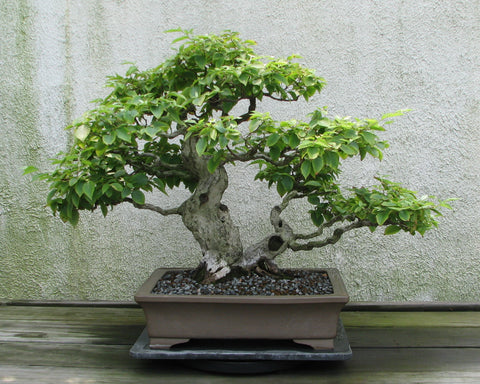 Multi Trunk Bonsai Tree