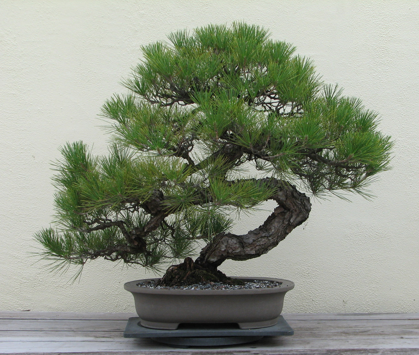Master Artisan Created Bonsai Trees