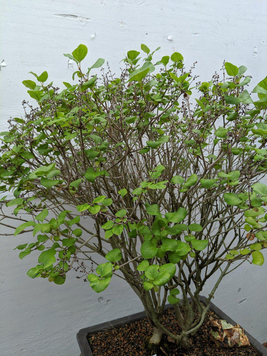 Dwarf Korean Lilac Specimen Bonsai Tree Profile