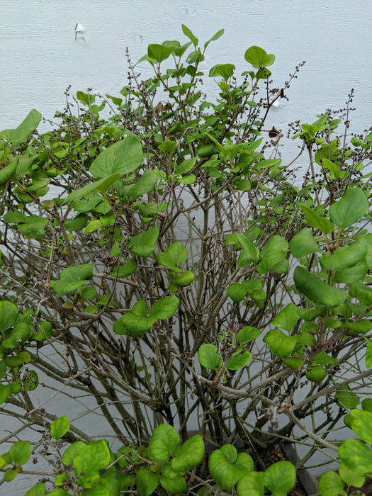 Dwarf Korean Lilac Specimen Bonsai Tree Canopy