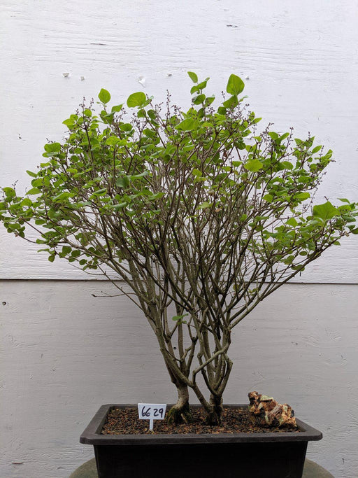 Dwarf Korean Lilac Specimen Bonsai Tree