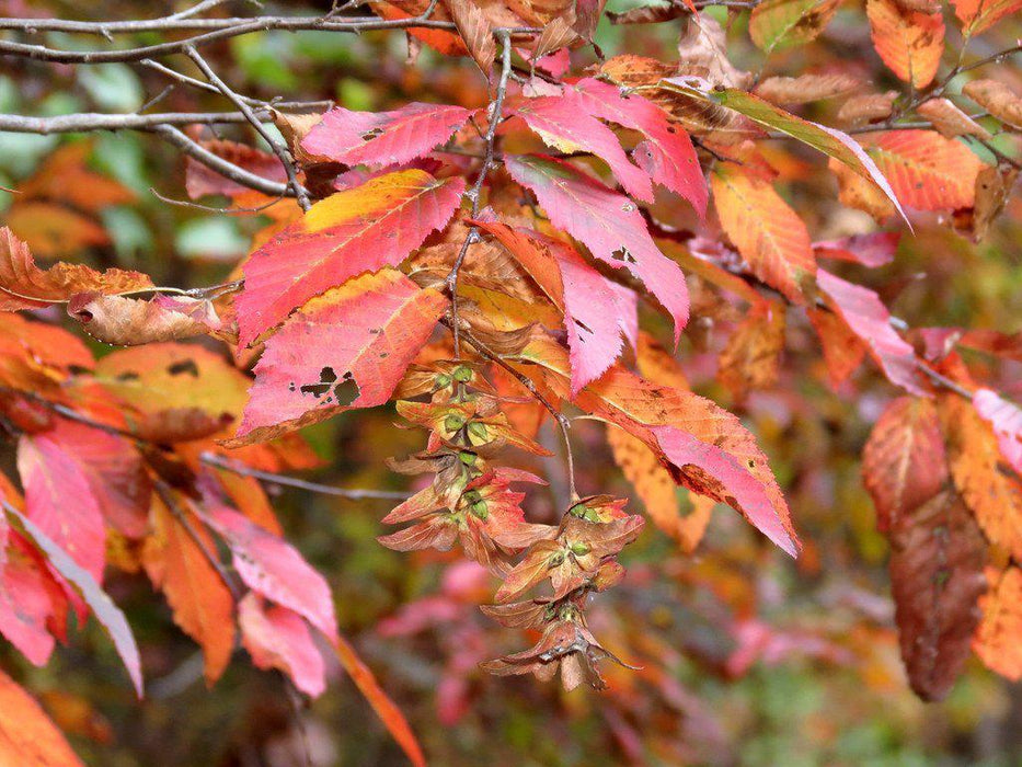 European Hornbeam Fall Foliage