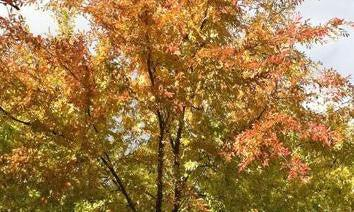 Japanese Hornbeam Fall Foliage