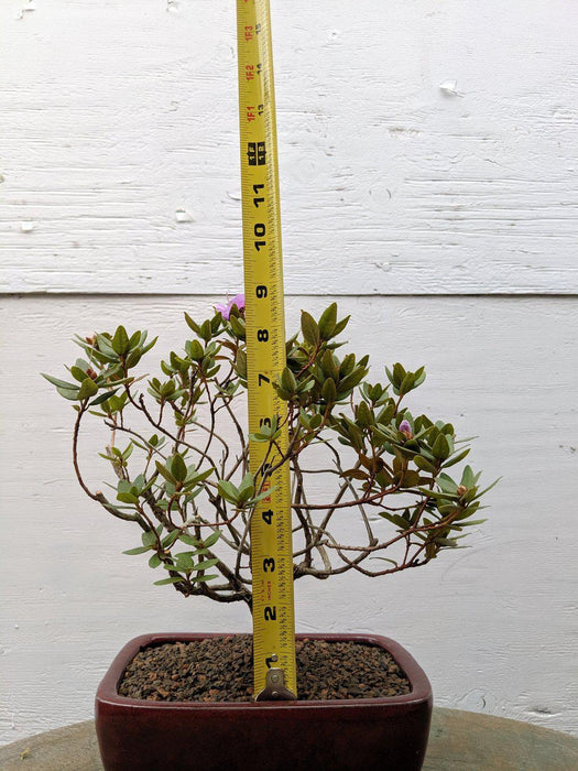 Purple Rhododendron Bonsai Tree Size