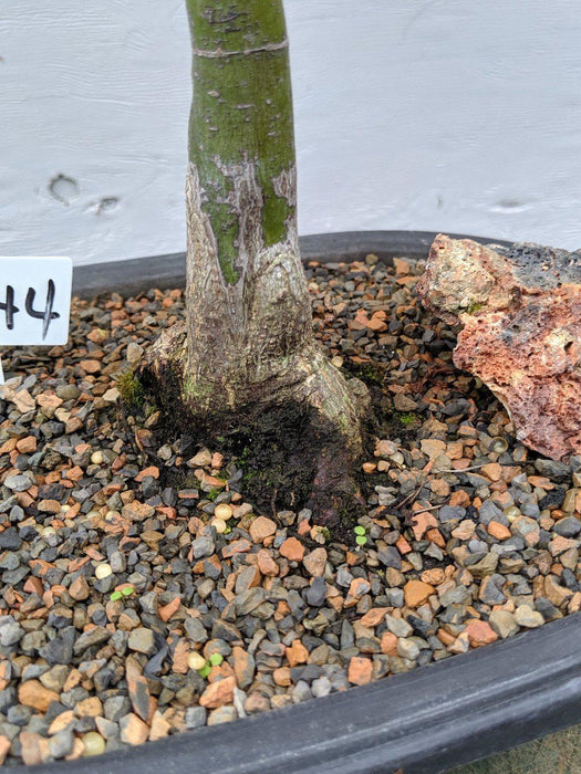 25 Year Old Rhode Island Red Japanese Maple Bonsai Tree Exposed Root
