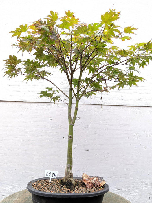 25 Year Old Rhode Island Red Japanese Maple Bonsai Tree