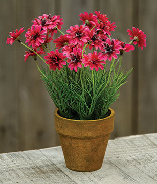 Potted Star Daisy Pink