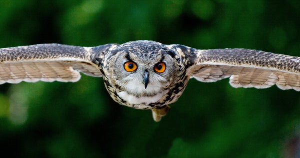 Focused Owl flying against green background