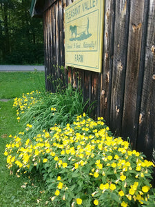 Sundrops, Perennial Flowers- Local Pickup Only