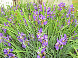 Blue Flag Iris- Local Pickup Only- Hardy Perrenial Flowers