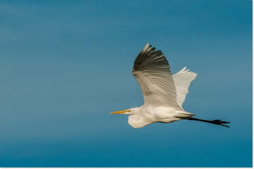 200 Great Egret