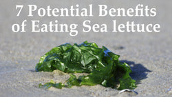 7 Potential Benefits of Eating Sea Lettuce Seaweed (Ulva lactuca) | Maine Coast Sea Vegetables
