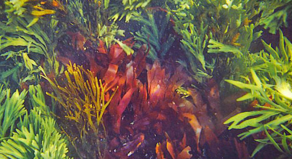 What's the nutritional difference between red, green, and brown seaweeds? | Maine Coast Sea Vegetables